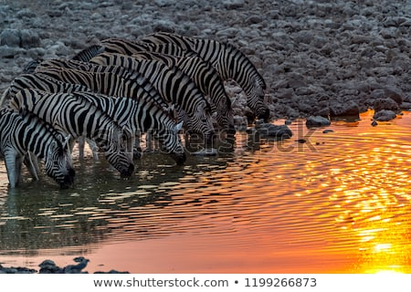 Safari parc Namibie coucher du soleil nature Voyage Photo stock © imagex