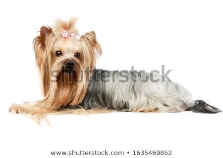 Kíváncsi kép kutya állatok fehér állat Stock fotó © gregory21