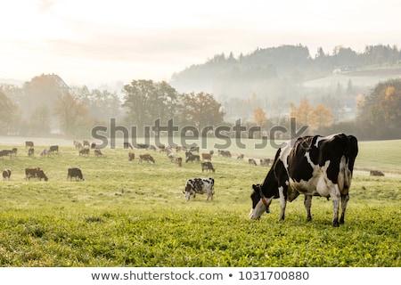 Foto d'archivio: Vacche · prato · estate · campo · blu · latte
