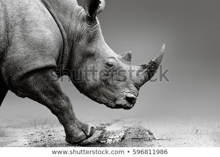 Stock photo: Rhino walking - monochrome