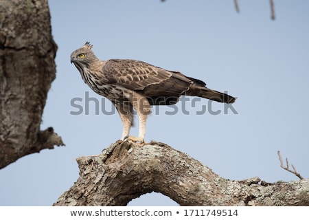 Changeable Hawk Eagle isolated on white Stock photo © Yongkiet