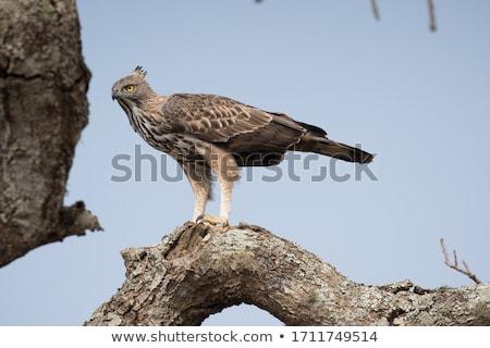 falcão · Águia · isolado · branco · natureza · beleza - foto stock © yongkiet