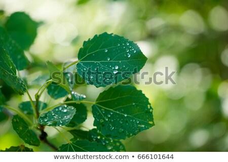 Drops on a aspen leaf Stock photo © Mps197