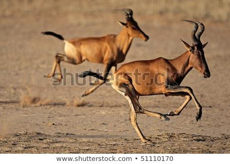 red hartebeest alcelaphus buselaphus stock photo © dirkr