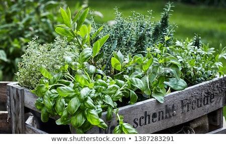 orgânico · alecrim · plantas · macro · raso · jardim - foto stock © klinker