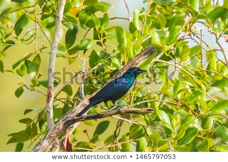 black bellied starling lamprotornis corruscus stock photo © dirkr