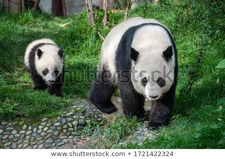 óriás · panda · éhes · medve · eszik · bambusz - stock fotó © goinyk