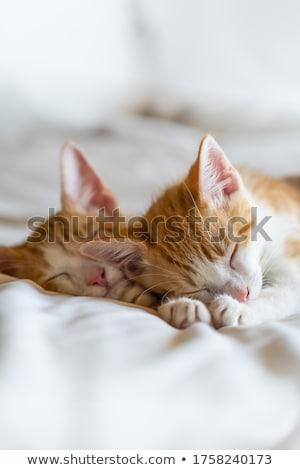 Naranja blanco gatito sesión bebé gato Foto stock © dnsphotography