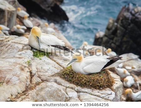 Northern gannet, Morus bassanus, colony Stock photo © Arrxxx