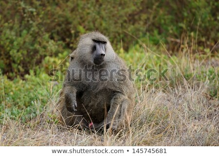 portrait · adulte · Homme · babouin · mer · singe - photo stock © mariusz_prusaczyk