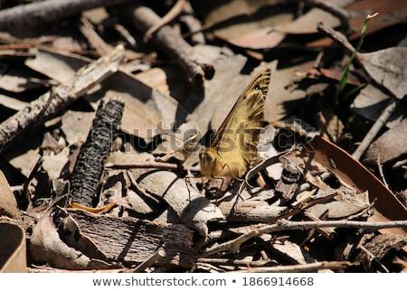ブラウン 島 蝶 オレンジ 昆虫 観光 ストックフォト © dirkr