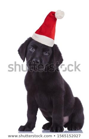 Belo preto labrador cachorro calçada parque Foto stock © goroshnikova