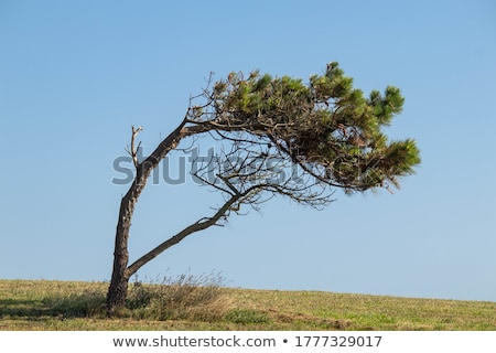 pine twig 07 stock photo © lianem