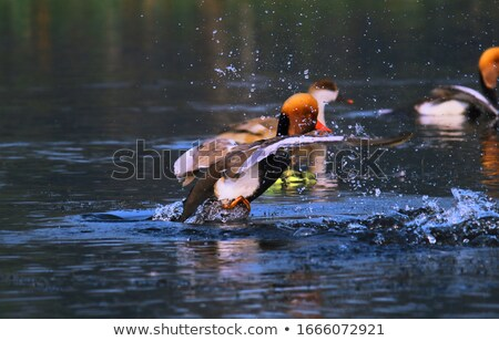 Decollo lago uccello anatra riflessione colorato Foto d'archivio © mariephoto