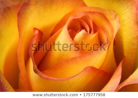 красную · розу · макроса · внутри · красный · красивой - Сток-фото © manera