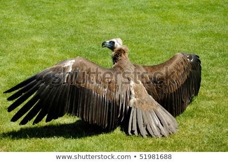 Dögkeselyű arc madár portré néz állatkert Stock fotó © martin33