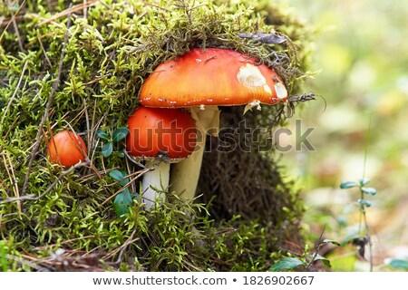 キノコ · 赤 · 白 · 草 · 秋 · 暗い - ストックフォト © digitalr