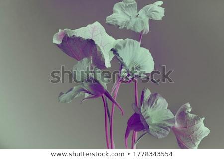 nasturtium flower stock photo © wildman