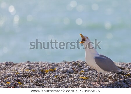 Seagull Shouting on the Rocky Beach in Normandy Stock photo © RazvanPhotography