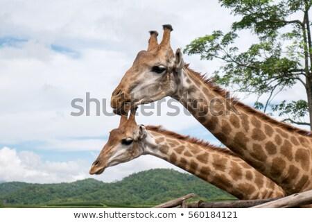 corrida · girafas · África · do · Sul · parque · animal - foto stock © compuinfoto