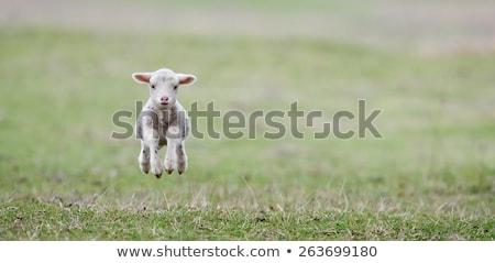 Foto stock: Bonitinho · cordeiro · primavera · Holanda · céu · bebê