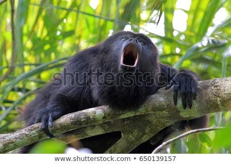 猿 · ツリー · ラ · コスタリカ - ストックフォト © thp
