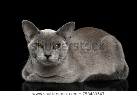 adorable burmese cat with blue eyes looks to side Stock photo © feedough