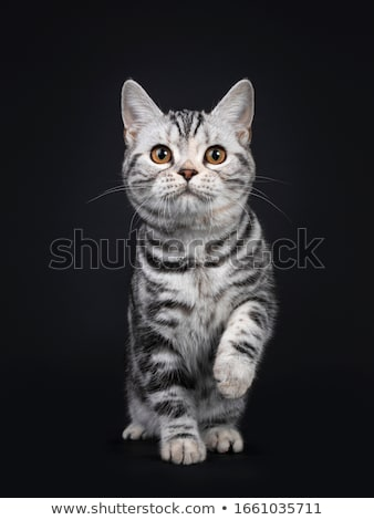 Stock photo: American Shorthair cat on black