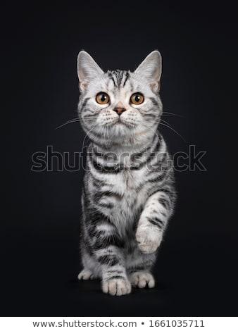 американский · короткошерстная · кошки · черный · Cute · отлично - Сток-фото © CatchyImages