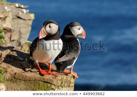 Beautiful bird puffin in Iceland Stock photo © Kotenko