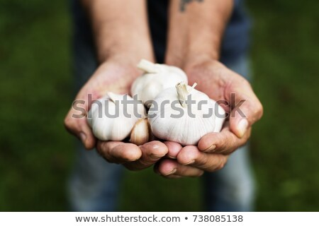 Garlic in farmers hands Stock photo © mythja