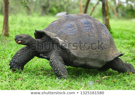 Galapagos animals - giant tortoise in nature eating guava on Galapagos Islands Stock photo © Maridav