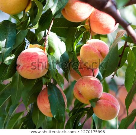 Pêssego árvore maduro frutas colheita Foto stock © LoopAll