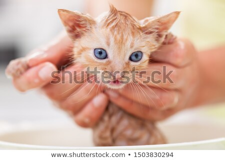 Woman hands holding a bathing a cute ginger kitten Stock photo © ilona75
