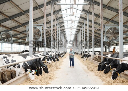 Two long rows of milk cows eating fresh hay and male worker of farmhouse Stock photo © pressmaster