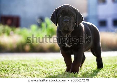 Stúdiófelvétel imádnivaló sétapálca boxoló kutya szem Stock fotó © vauvau