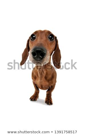 Сток-фото: Wide Angle Portrait Of An Adorable Dachshund