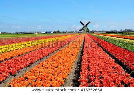 Colorful Dutch tulips in Keukenhof park Stock photo © Arsgera