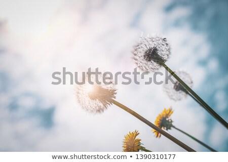 pitypang · csoport · csoportok · pitypangok · fű · természet - stock fotó © ansonstock