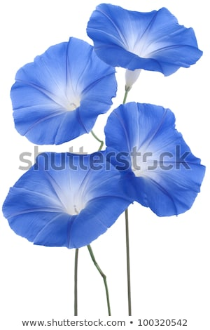 Macro blue ipomoea flower stock photo © Musat