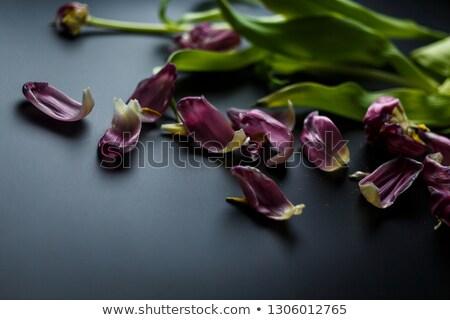 Rojo oscuro tulipanes púrpura flor Foto stock © nurrka