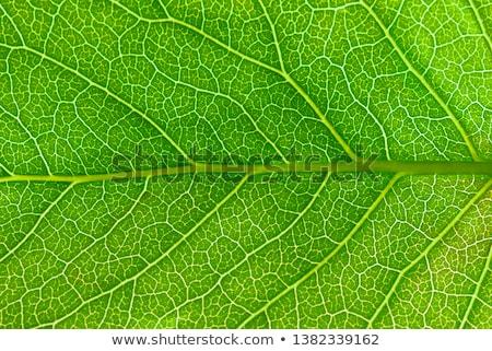 Blad aderen detail Stockfoto © posterize