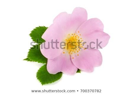single branch of dog rose stock photo © boroda