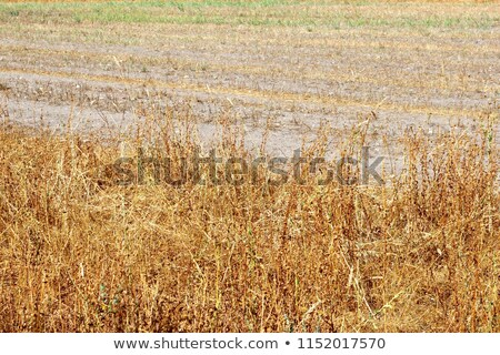 Agriculture rural land harvest time dusty and dry background Stock photo © sherjaca