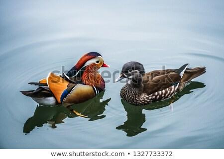 Vrouwelijke mandarijn- eend zwemmen water natuur Stockfoto © asturianu