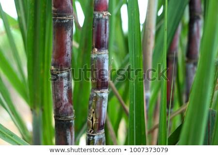 Red farm cane harvester on sugarcane plantation Stock photo © sherjaca
