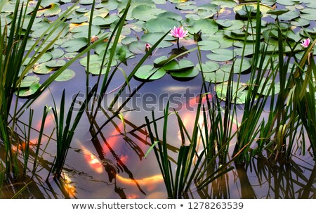 Orange White Carp Pink Water Lily Pond Chengdu Sichuan China Stock photo © billperry