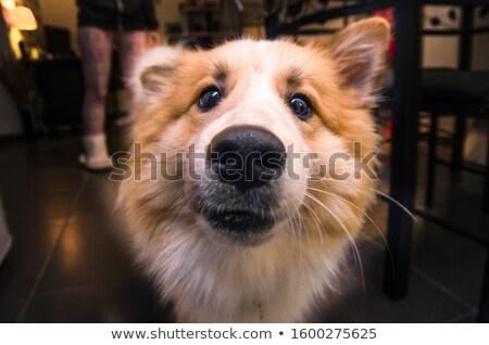 kutya · ormány · közelkép · női · pihen · orr - stock fotó © fxegs