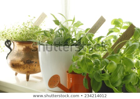 Sage in a clay pot with a wooden label Stock photo © Zerbor