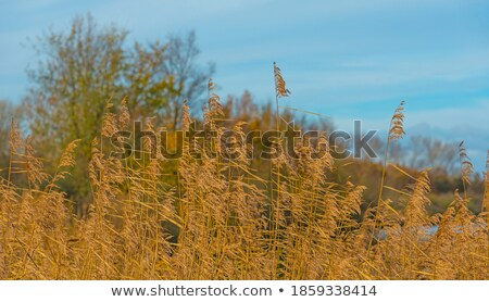 Lake with reeds under blue cloudy sky Stock photo © azjoma